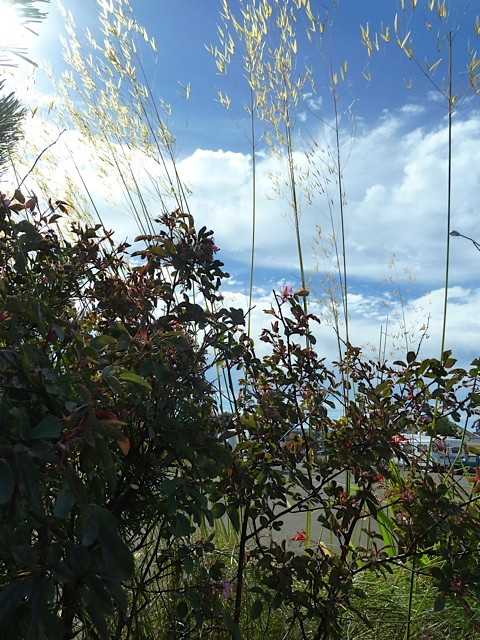 Rosa glauca and Stipa gigantea