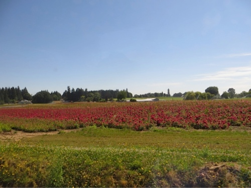 and part horticultural, with fields of roses, hydrangeas, and other shrubs