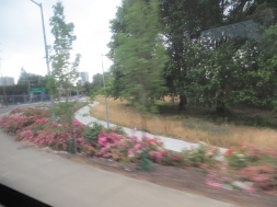 Along many areas beside the city freeways, drifts of roses are planted.