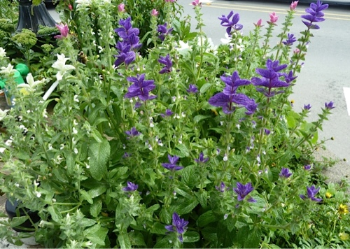 The Salvia viridis is starting to bloom and will be the star of the planter show for a couple of months.