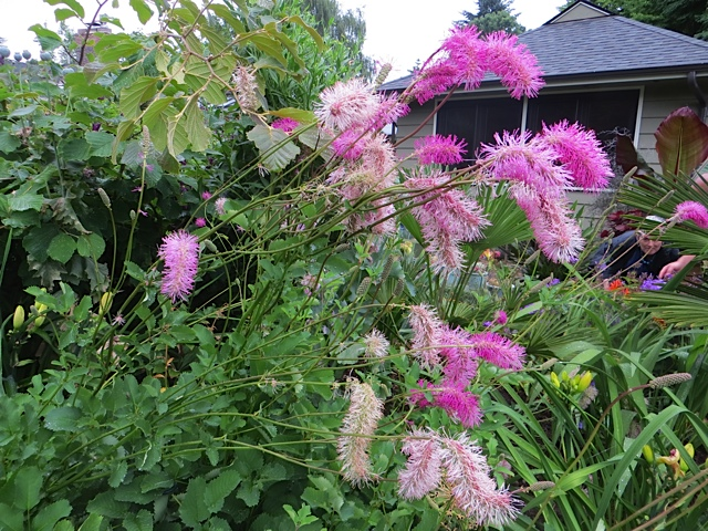 sanguisorba, one of the my favourite plants