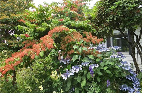 We were told it's Viburnum 'Shasta', a double file; I had no idea it could get so large.