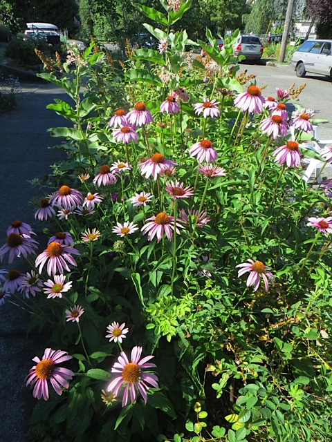 rudbeckias by the sidewalk