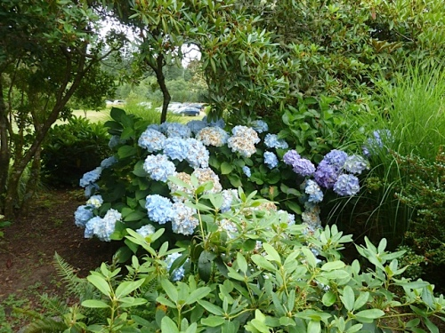 The hydrangeas caused a sensation among the tour guests.