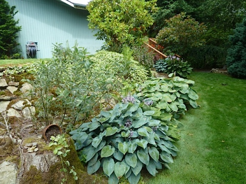 Around the south side of the house, with some shade from tall trees, a bank of hostas.