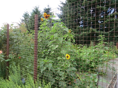 sunflowers in the fenced garden
