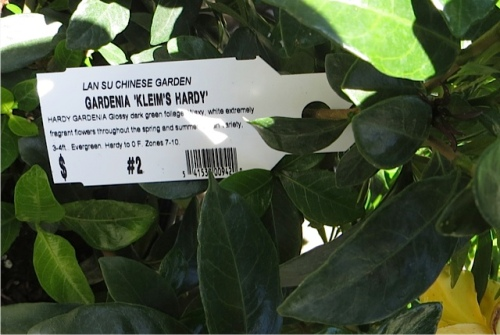 It is hard to believe this is hardy!  (Allan later acquired one at a nursery.)
