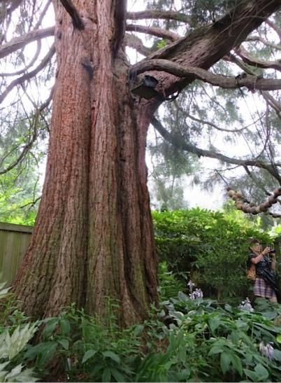 the giant sequoia
