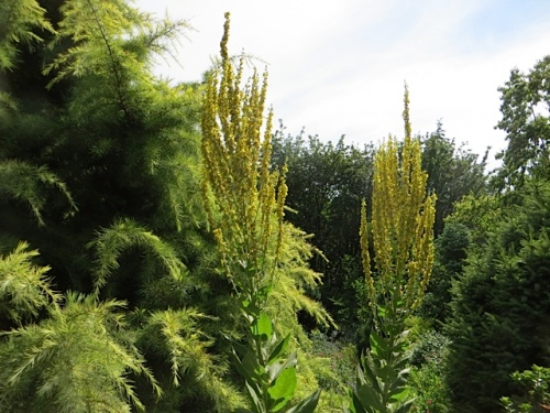 I want this tall yellow verbascum; mine don't seem to branch like that.