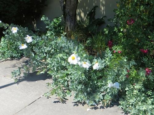 Matilija poppies in the back garden