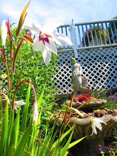 Acidanthera in vivid colour in the KBC driveway garden