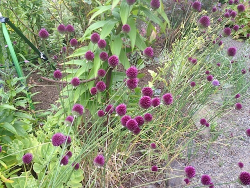 The drumstick alliums have gone all purple now; earlier, they are green, then half purple and half green.