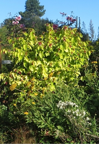and...Lily 'Anastasia' still blooming, towering over Leycesteria 'Golden Lanterns'