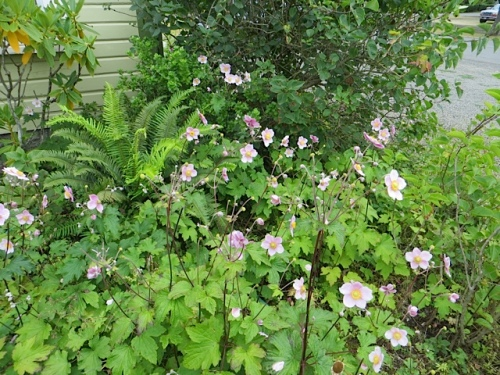 north side of Wiegardt Gallery: Japanese anemone in bloom.