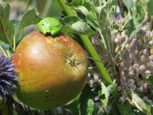 As we strolled around, we saw a frog on a Cox's Orange Pippin apple.