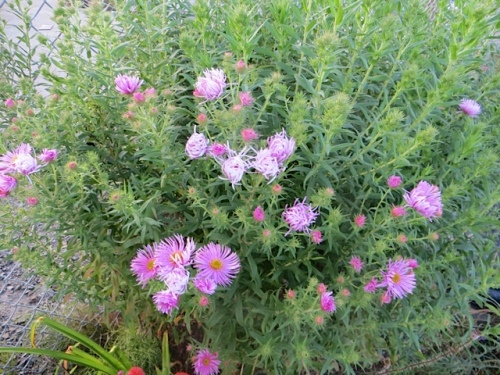 I realized that nice aster at Andersen's RV Park is too dark to be 'Harrington's Pink'.  THIS is 'Harrington's Pink', a good and well behaved aster.