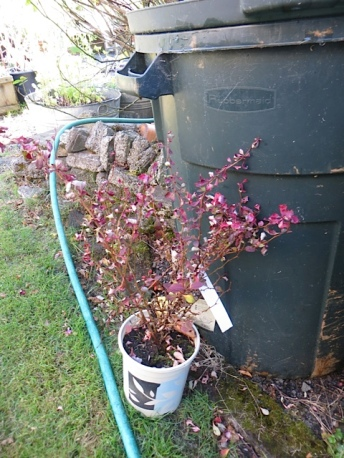 and the terribly sad one; it got well soaked yesterday and I hope it puts out new leaves.
