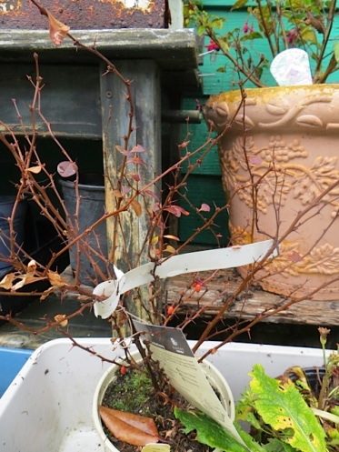 The barberry that missed being watered may be reviving itself.