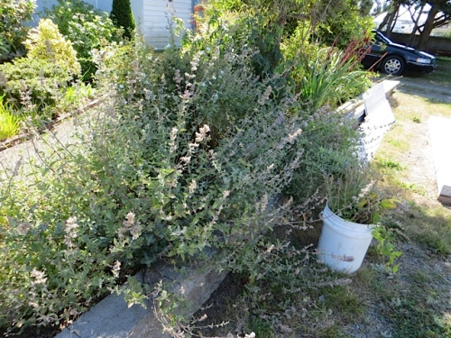 The Nepeta (catmint) needed cutting back.