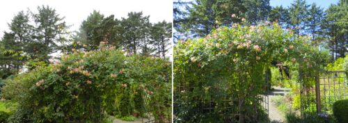 before and after, just a few upright rose canes gone