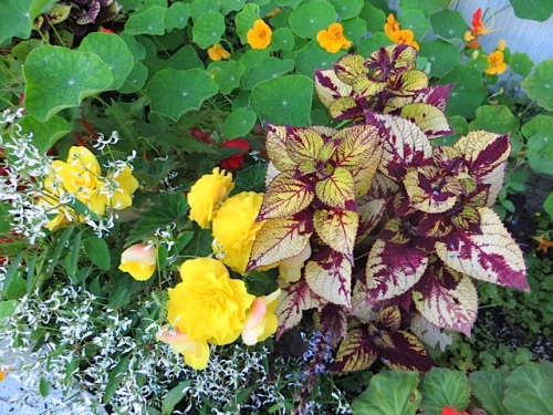 I have not let the nasturtiums totally swamp the begonia, coleus, and Ephorbia 'Diamond Frost'