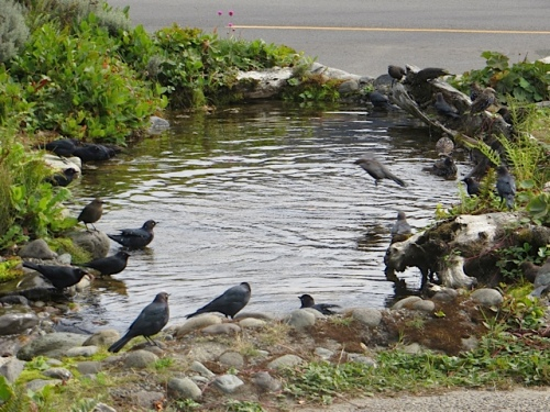 Joy and delight:  I saw a flock of starlings bathing and frolicking in the Heron Pond (by the stoplight)