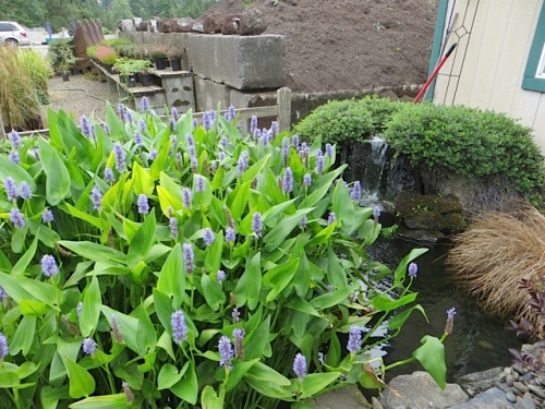 I so want some of this blue plant that Colleen has in the pond.