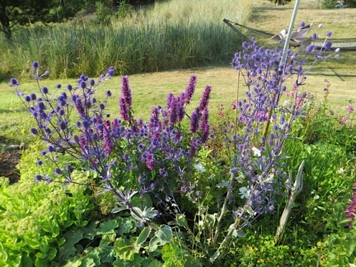 Agastache and Eryngium