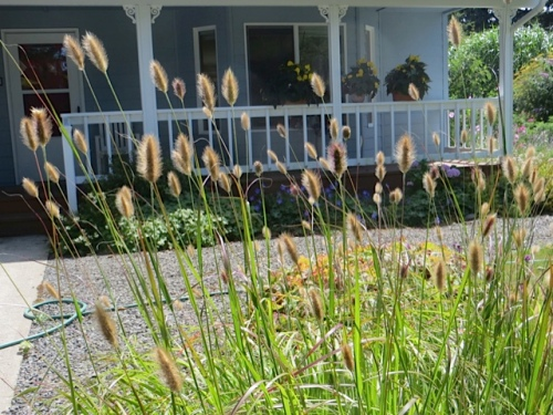 bunny tails grass