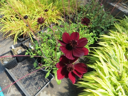 Cosmos atrosanguineus (chocolate cosmos, and it does smell like chocolate)