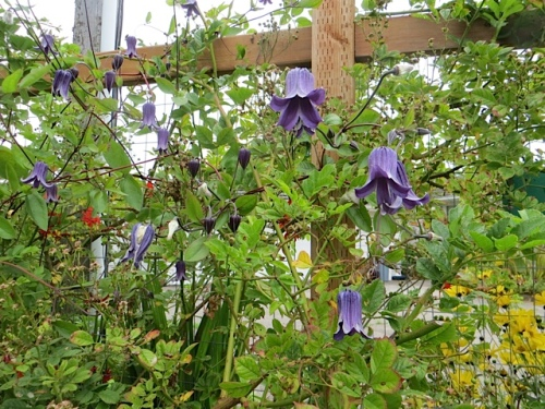 It's entwined by a Clematis roguchi.