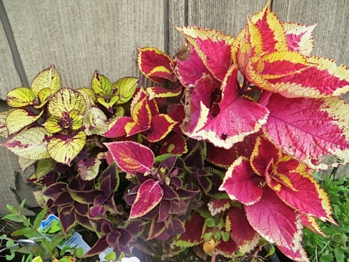 sun coleus from The Basket Case Greenhouse