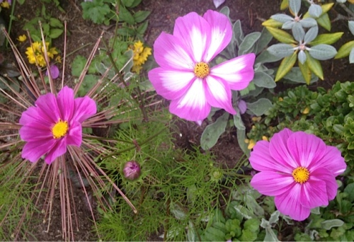 Fortunately, deer don't like Cosmos, one of Eric's favourites.