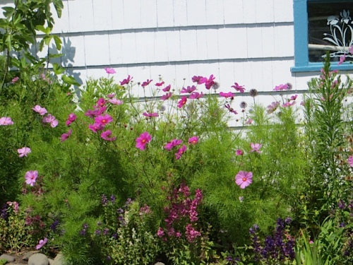 Cosmos and painted sage in the garden shed garden