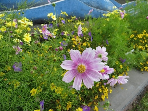 Cosmos 'Happy Ring' is a lovely, airy addition to the welcome sign planting.