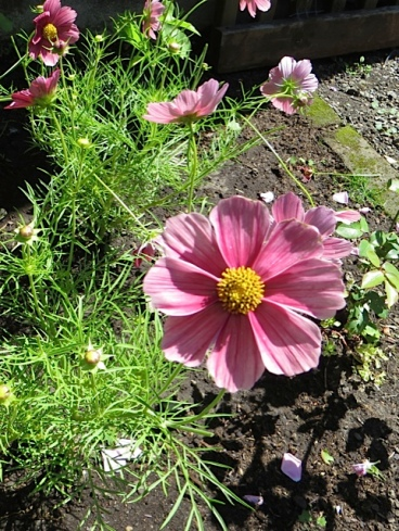 In the garden by west wall of the house:  Cosmos 'Antiquity'