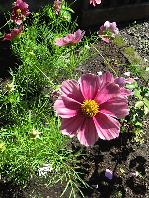 Cosmos 'Antiquity' last year