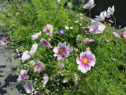 Cosmos 'Happy Ring' doing very well in the welcome sign garden.