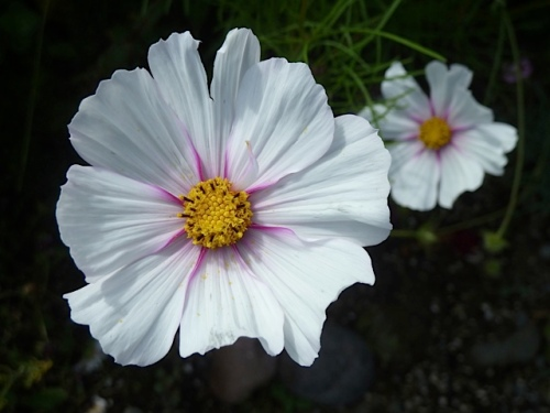 and more cosmos