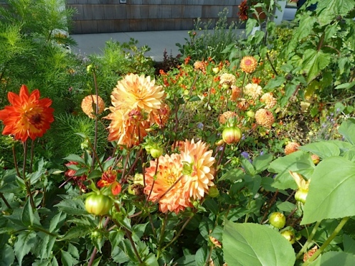 dahlias in the entry garden