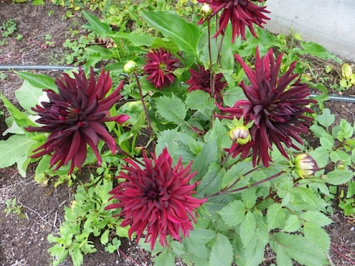 planted some dahlias for manager Beth; LOVE these dark spidery ones.