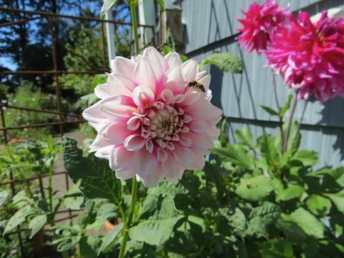 and dahlias