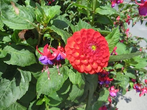 The planter by Campiche Studios has fuchsias and dahlias, my favourite kind of dahlia flower