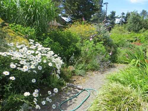 looking northwest from the porch steps, after deadheading the daisies (which did need it)
