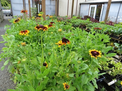 Rudbeckias by the front door