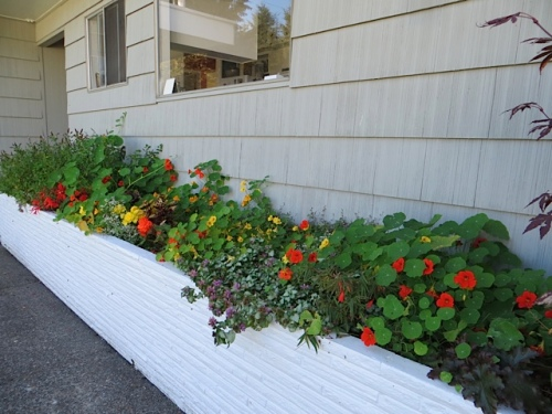the raised bed on east wall of house; nasturtiums and mint gone wild...