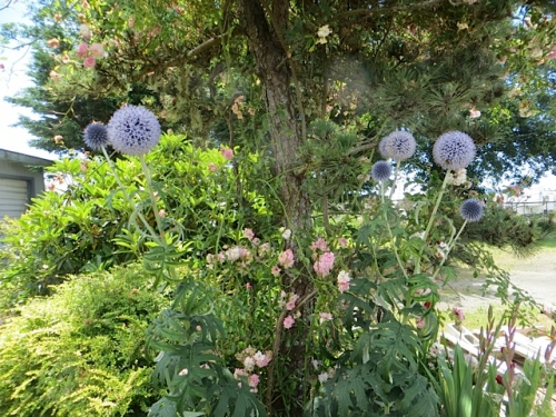 Echinops (blue globe thistle) under the rose