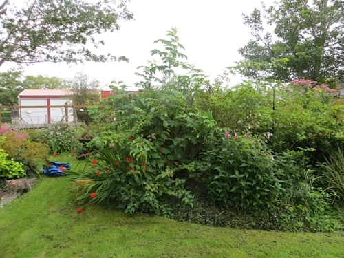 The elderberry that reseeded here must also go.  There are two others in the garden.