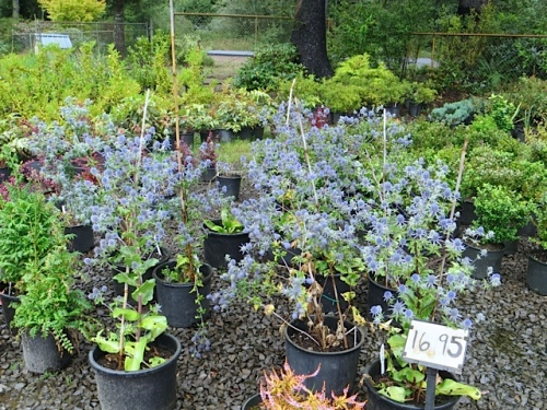 I saw that Pen. Landscape Supply has some Eryngiums for sale, grown from seed by owner Colleen!  Quite a find; not for me as I have plenty, but for someone.