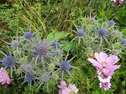 I found people admiring the Eryngium in the Lewis and Clark Square planter.